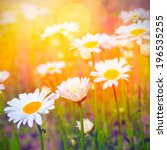 field of daisies and sunshine | Shutterstock . vector #196535255
