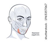 facial muscles of the female....   Shutterstock .eps vector #1965357067