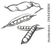 sweet pea elements. ink sketch... | Shutterstock .eps vector #1965430804