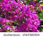Bougainvillea Flowers  Pink...