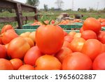 Red Ripe Table Tomato    Tomato ...