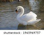 Portrait Of A Mute Swan  Cygnus ...