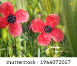 Poppy With Four Red Petals And...