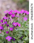 Blooming Aubrieta Hybrida. A...