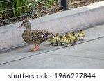 A Mama Mallard Duck And Her Ten ...