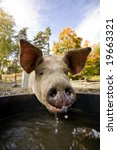 A Pig Drinking At A Watering...