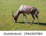 Blesbok Grazing On Grass In A...