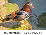 One Adult Male Mandarin Duck...
