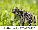 European Green Toad  Bufotes...
