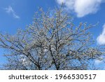 Small photo of Blooming crown of a mirabelle tree on a background of blue sky, upward view. Mirabelle plum is a cultivar group of plum trees of the genus Prunus.