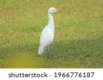 Eastern Great Egret Walking On...