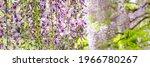 Flowering Wisteria Tree In...