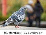 Closeup Of Gray Pigeon Bird On...