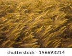 Detail Of Ripening Wheat Field.