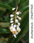 Small photo of Alpinia zerumbet