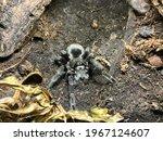 Close Up Tarantula. Scientific...