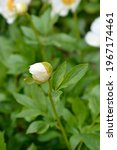 Peony Moonrise flower bud - Latin name - Paeonia Moonrise