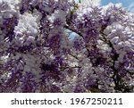 Wisteria Flowers Are Blooming...