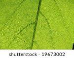 green leaf | Shutterstock . vector #19673002