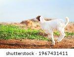Happy white goat kid running on a pasture at sunrise. Domestic kid. Farm goat. Farmland in summer. Motion blur.