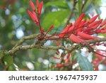 Flower Of Quassia Indica  Niepa ...