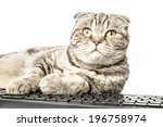 Stock photo surprised striped cat scottish fold works lying at the computer and looking up on isolated white 196758974