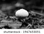 Mushroom Lycoperdon Perlatum ...
