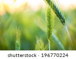 Organic Green Wheat. Macro...