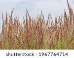 Field Of Bushgrass. Many...