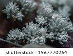 Sedum Rubrotinctum Is A Small...