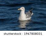 Seagull Swimming In Lake ...