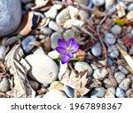 Early Spring Prairie Crocus...