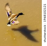 A Duck Flies Over A Pond With...