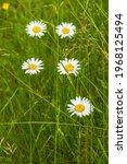 Flowering Oxeye Daisy Flowers...