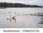 White Swans And Seagulls Swim...