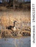 Resting Canads Goose Near Pond