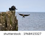 Double crested cormorant flying ...