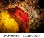 Electric Fileclam  Ctenoides...