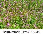 Wildflowers. Pink Flowers Of...