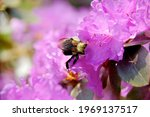 Busy Bumblebee Collecting...