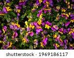 The Garden Pansy  Viola  ...