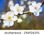 white blossoms in spring  | Shutterstock . vector #196926191