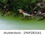Bird  Javan Pond Heron  ...