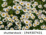 Leucanthemum Vulgare Oxeye...