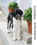 adorable portuguese water dog - stock photo