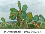 Green Cactus With Red Fruit...