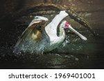 African Spoonbill  Platalea...