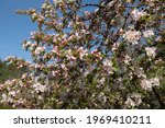 Spring Flowering Pink Blossom...