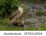 Female Sparrowhawk Bird Of Prey ...