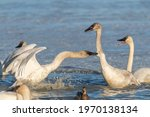 Tundra, trumpeter swans fighting in aggressive manner. One wild bird biting the others neck while swimming and standing on icy lake in Yukon during migration to Bering Sea.